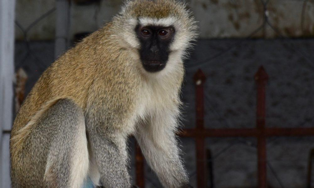 rencontre singe